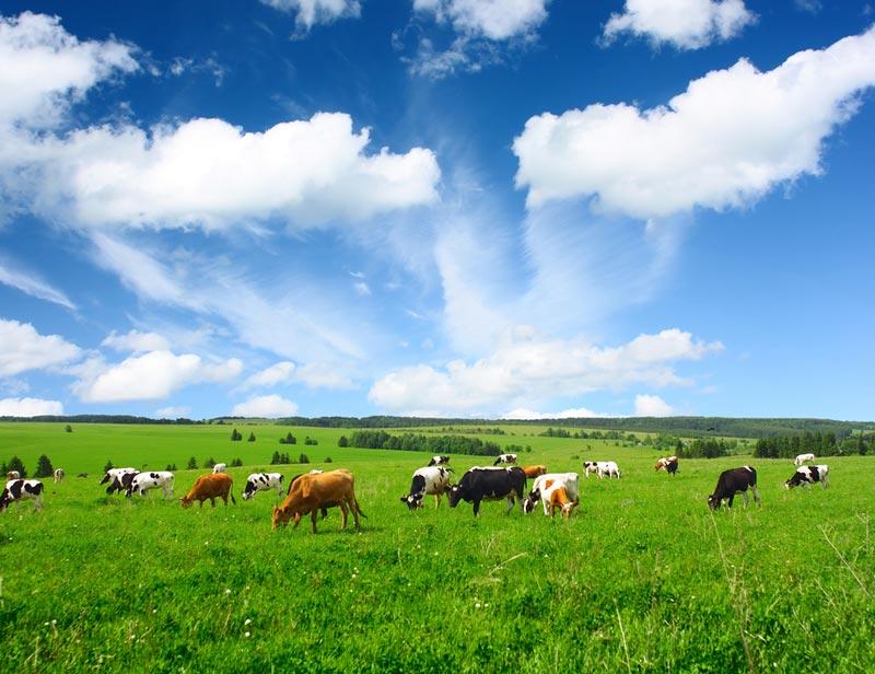 vacas-pastando